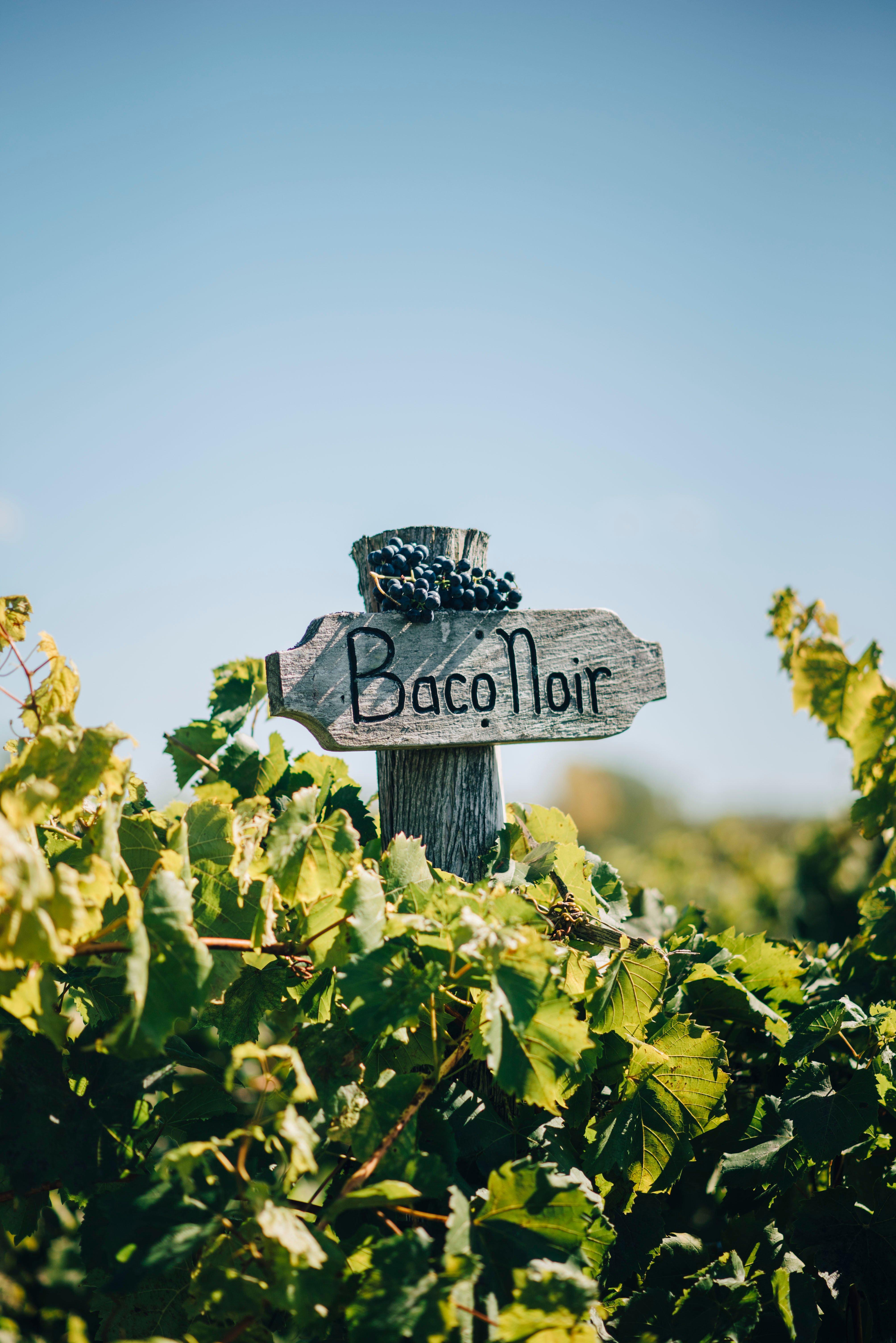 visit vermont baco noir grape